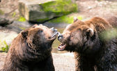 Two Brown Grizzly Bears Play Around North American Animal Wildlife — Stock Photo