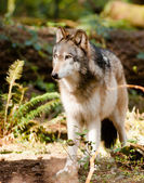 North American Timberwolf Wild Animal Wolf Canine Predator Meat — Stock Photo