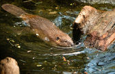 North American Beaver Castor Canadensis Wild Animal Swimming Dam — Stock Photo