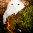 Snowy Owl Large Yellow Eyed Wild Bird Prey Species — Stock Photo #36048769