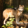 North AmericTimberwolf Wild Animal Wolf Canine Predator Alpha — Stock Photo #36048795