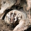 Stock Photo: North AmericShort Legged Badger Emerging from Safety of Den