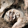 North American Short Legged Badger Emerging from Safety of Den — Stock Photo