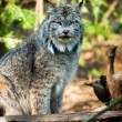 Stock Photo: Wildcat Lynx Medium Sized Wild Animal Cat Genus Felis