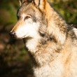 Stock Photo: North AmericTimberwolf Wild Animal Wolf Canine Predator Meat