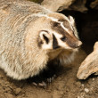 Stock Photo: North AmericShort Legged Badger Wild Animal Mustelidae Family