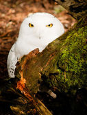 Snowy Owl Large Yellow Eyed Wild Bird Prey Species — Stock Photo