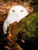 Snowy Owl Large Yellow Eyed Wild Bird Prey Species — Stock Photo