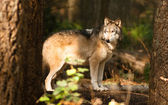 North American Timberwolf Wild Animal Wolf Canine Predator Alpha — Stock Photo