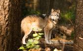 North American Timberwolf Wild Animal Wolf Canine Predator Alpha — Stock Photo
