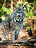 Wildcat Lynx Medium Sized Wild Animal Cat Genus Felis — Stock Photo