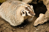 North American Short Legged Badger Wild Animal Mustelidae Family — Stock Photo