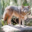 Stock Photo: Wild Animal Coyote Stands On Rock Looking At Camera
