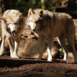 Wild Animal Wolf Pair Standing Playing North American Wildlife — Stock Photo
