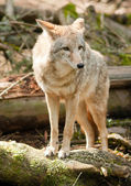 Wild Animal Coyote Stands On Stump Looking For Prey — Stock Photo