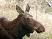 Big Cow Moose Northern Alaska Wild Animal Wildlife Portrait — Stock Photo