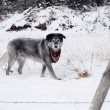 Stock Photo: Large Wolfhound Labrador Mix Dog Standing Over Animal Under Snow
