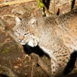 Wild Animal Bobcat Walking Stalking Through Woods — Stock Photo #37685413