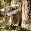 Wild Animal Wolf Pack Standing Playing North American Wildlife — Stock Photo