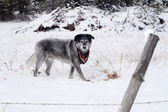 Large Wolfhound Labrador Mix Dog Standing Over Animal Under Snow — Stock Photo