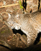 Wild Animal Bobcat Walking Stalking Through Woods — Stock Photo