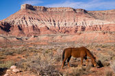 Domestic Animal Livestock Horse Grazes Desert Southwest Canyon — Stock Photo