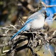 Scrub Jay Blue Bird Great Basin Region Animal Wildlife — Stock Photo