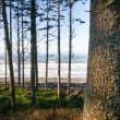 Постер, плакат: Trees Line Higher Ground Above Paciifc Ocean Beach Shoreline