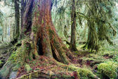 Giant Red Cedar Tree Stump Moss Covered Growth Hoh Rainforest — Stock Photo
