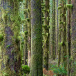 Cedar Trees Deep Forest Green Moss Covered Growth Hoh Rainforest — Stock Photo #38590035