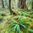 Cedar Trees Deep Forest Green Moss Covered Growth Hoh Rainforest — Stock Photo #38590047