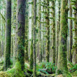 Cedar Trees Deep Forest Green Moss Covered Growth Hoh Rainforest — Stock Photo #38590061