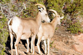 Wild Animal Alpine Mountain Goats Searching for Food High Forest — Stock Photo