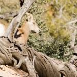 Wild Animal Alpine Mountain Goat Sentry Protecting Band Flank — Stock Photo #38677027