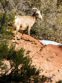 Wild Animal Alpine Mountain Goat Sentry Protecting Band Flank — Stock Photo
