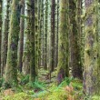 Cedar Trees Deep Forest Green Moss Covered Growth Hoh Rainforest — Stock Photo #39026937
