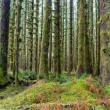 Cedar Trees Deep Forest Green Moss Covered Growth Hoh Rainforest — Stock Photo #39026945