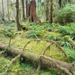 Cedar Trees Deep Forest Green Moss Covered Growth Hoh Rainforest — Stock Photo