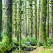 Cedar Trees Deep Forest Green Moss Covered Growth Hoh Rainforest — Stock Photo #39067943