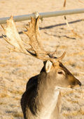 Beautiful Engaged Wildlife Young Male Buck Deer Antlers Horns — Stock Photo