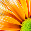 Stock Photo: Dyed Daisy Flower White Orange Petals Green Carpels Close up
