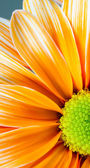 Dyed Daisy Flower White Orange Petals Green Carpels Close up — Foto Stock