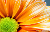 Dyed Daisy Flower White Orange Petals Green Carpels Close up — Stockfoto