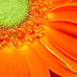 Stock Photo: Gerbera Flower Orange Yellow Petals Green Carpels Close up