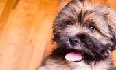Tibetan Lhasa Apso Small Canine Dog Breed Furry Animal Creature — Stock Photo