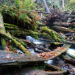 Rain Forest Stream Covered Fallen Logs Woods Jungle Outback Travel — Stock Photo