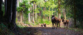 Animal Elk Herd Walking Away Oregon Woods Northwest Forest Wildlife — Stock Photo