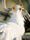 Secretary Bird Looks Back Large Raptor Animal Wildlife — Stock Photo