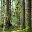 Cedar Trees Deep Forest Green Moss Covered Growth Hoh Rainforest — Stock Photo #44997343