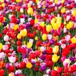 Tulips Field Red Yellow Purple Bulbs Flowers Tulip Farm — Stock Photo #45001707